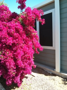 The beautiful Bougainvillea plant between our home and the neighbours