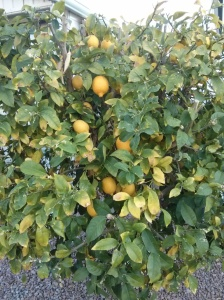 My over producing Lemon Tree