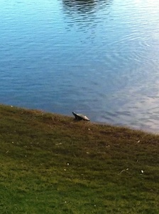 Turtle on the course