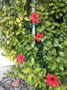 Beautiful Flowering Hibiscus flower