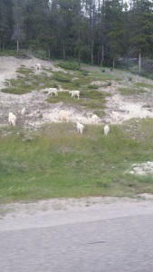 J goats