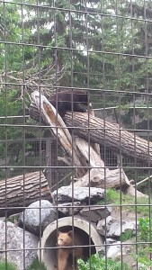 Bear in Tree eating fish